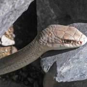 Coluber mentovarius, Neotropical Whipsnake