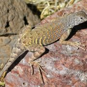 Cophosaurus texanus - Greater Earless Lizard