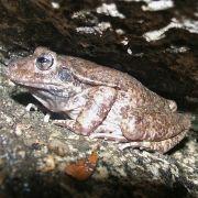 Craugastor augusti, barking frog