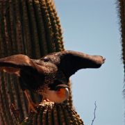Crested caracara on saguaro