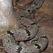 Crotalus lepidus, rock rattlesnake