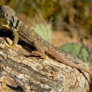 Crotaphytus collaris, eastern collared lizard
