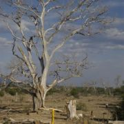 Dead cottonwood on upper Santa Cruz River