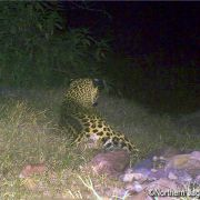 Jaguar on Northern Jaguar Reserve
