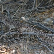 Gambelia wislizenii, long-nosed leopard lizard