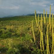 Bright green thornscrub with monsoon