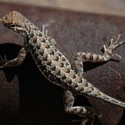 Holbrookia elegans, elegant earless lizard