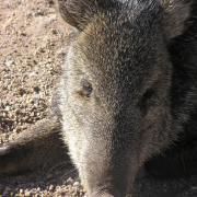 Injured javalina