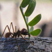 Leaf cutter ants carrying Acacia greggii