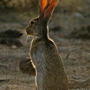 Lepus alleni, antelope jackrabbit