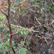 Mimosa dysocarpa
