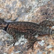 Mountain spiney lizard