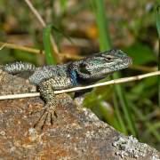 Sceloporus jarrovii, Yarrow's spiny lizard