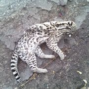 Ocelot road kill near Globe, Arizona