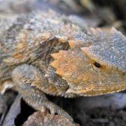 Phrynosoma hernandesi - greater short-horned lizard