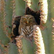 Cactus ferruginous pygmy-owl in saguaro