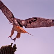 Red-tailed hawk landing on saguaro