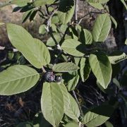 Rhamnus (Frangula) californica with fruit
