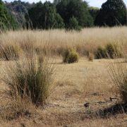Sacaton grassland near Canelo Hills