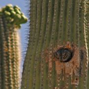Western screech-owl peeking out of saguaro cavity