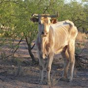 Starving cow in semi-desert grasslands