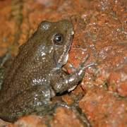 Lithobates tarahumarae, Tarahumara frog