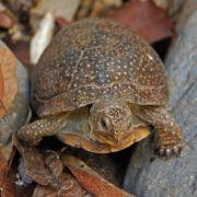 Terrapene nelsoni, spotted box turtle