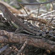 Callisaurus draconoides, zebra-tailed lizard