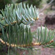 Abies concolor (white fir) needles