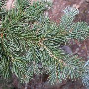 Abies lasiocarpa (corkbark fir) needles
