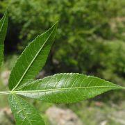 Bursera lancifolia leaf