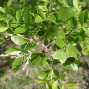 Bursera laxiflora leaves