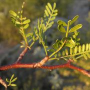 Bursera microphylla leaves