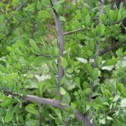 Phaulothamnus spinescens