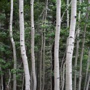 Populus tremuloides (quaking aspen) trunks