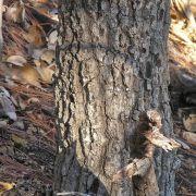 Quercus tarahumara trunk