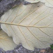 Quercus macvaughii leaf underside
