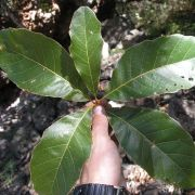 Quercus tuberculata leaves