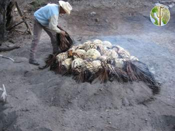 The maya is lined with rocks, and then filled with mesquite. After the wood turns to coals, chopped pithaya is added to introduce moisture. Then the agave hearts are added. Thoroughly soaked palm fronds are added next, and then everything is buried until no smoke escapes.