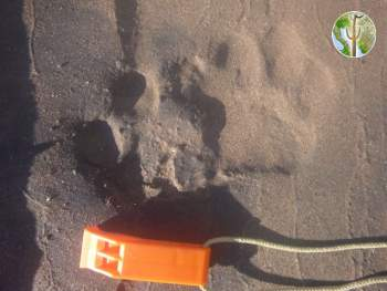 Likely jaguar track on beach camp on Rio Yaqui, near Rio Bavispe