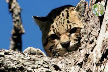 Ocelot in the Huachuca Mountains