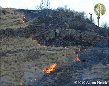 Buffelgrass fire - converting Sonoran Desert to buffelgrass monoculture