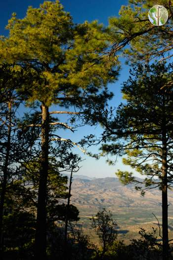 Pines and view in the Sierra Pinito
