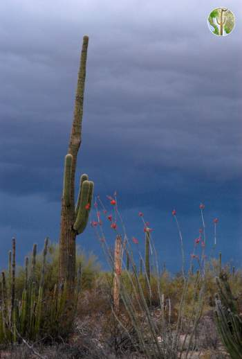 Saguaro and storm, western Sonora