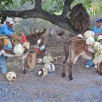 Burros haul the piñas or cabezas from the monte.