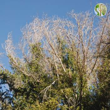 Frost killed foliage on Ficus, Rio Aros/Yaqui