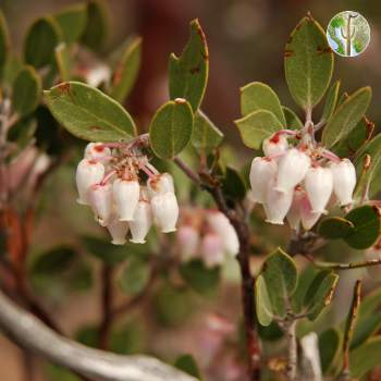 Gaan Canyon (Devil's Canyon), Arctostaphylos pungens, flowering