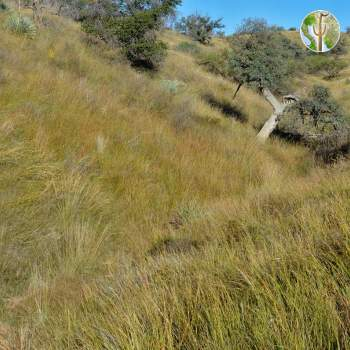 Relatively healthy native grasslands