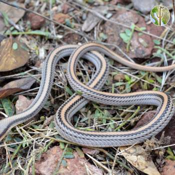 Western patch-nosed snake, Salvadora hexalepis