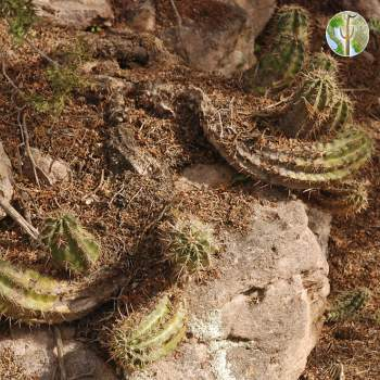 Echinocereus triglochidiatus var. arizonicus (Arizona Hedgehog)